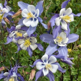 Ancolie bleue à fleurs précoces