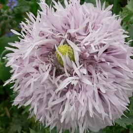 Pavot à opium Lilac Pompom (Papaver somniferum)