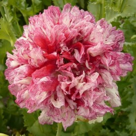 Pavot à opium Flemish Antique (Papaver somniferum)