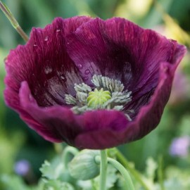 Pavot à opium Lauren's Grape (Papaver somniferum)
