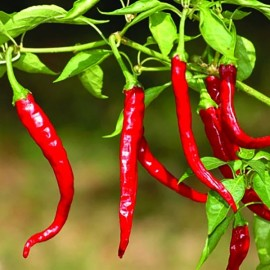 Piment Cayenne long slim (Piment fort)