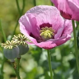 Pavot à opium Giganteum (Papaver somniferum)