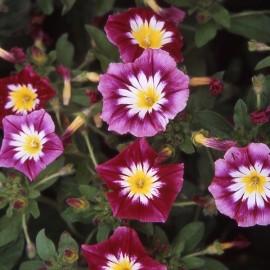 Belle de jour à fleur rouge