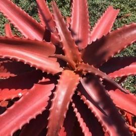 Aloe rouge
