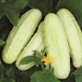 Concombre White Wonder