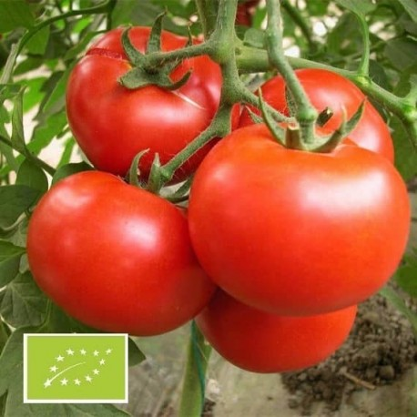 Tomate Burbank (tomate ancienne)