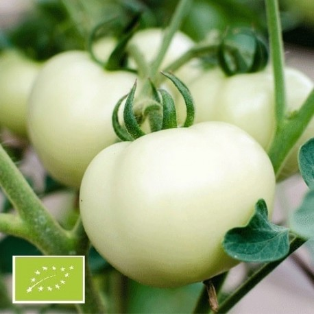 Tomate White Beauty (tomate ancienne)
