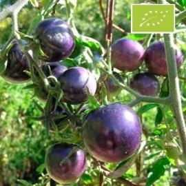 Tomate Bosque Blue BIO (Tomate cerise)