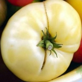 Tomate White Wonder (tomate ancienne)