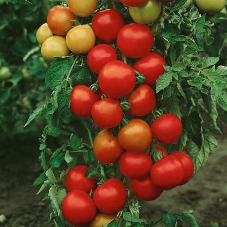 Tomate Money Maker (tomate ancienne)