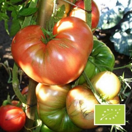 Tomate Russe rouge BIO