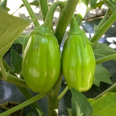 Jilo Comprido Verde Claro (aubergine africaine, Gilo, jiló))
