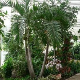 Adonidia merrillii (Palmier de Noël)