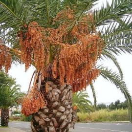 Phoenix canariensis (Palmier dattier des Canaries)