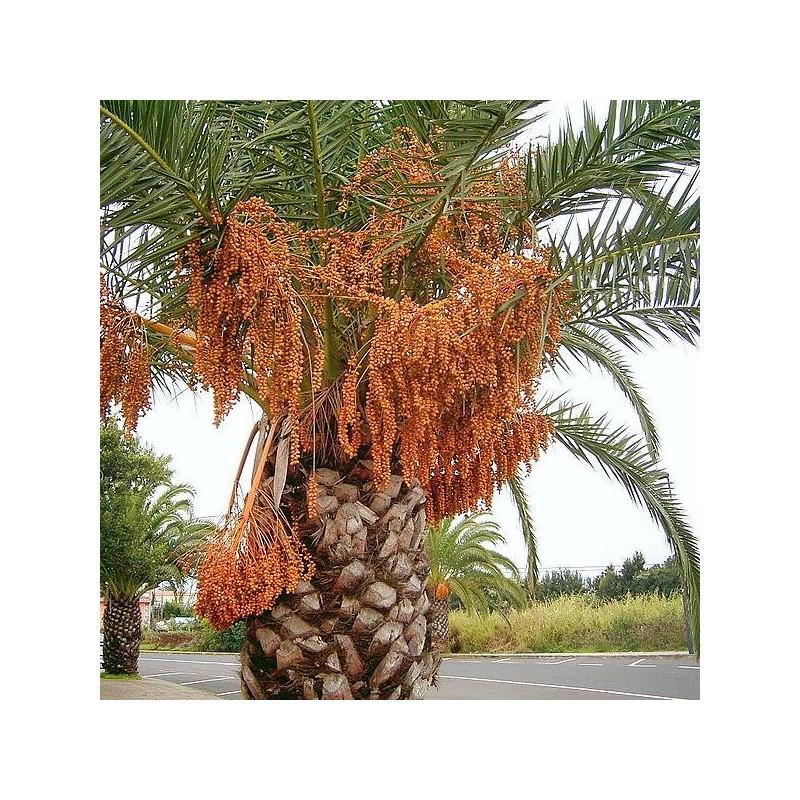 graines phoenix canariensis palmier dattier des canaries. Black Bedroom Furniture Sets. Home Design Ideas