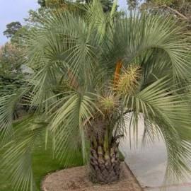 Palmier Yataï