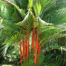 Palmier à tronc rouge