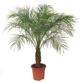 Graines Phoenix roebelenii (Palmier dattier nain)
