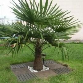 Trachycarpus fortunei (Palmier chanvre)
