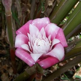 Etlingera Venusta 'Malay Rose' (Gingembre tropical)