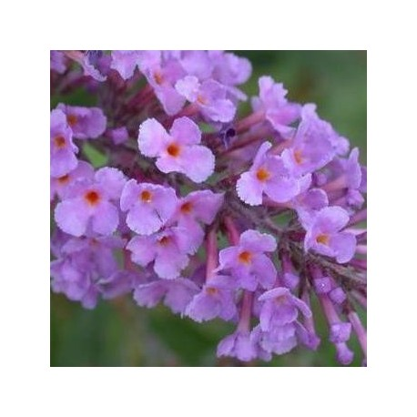 Buddleia davidii Lilas (Arbre aux papillons)