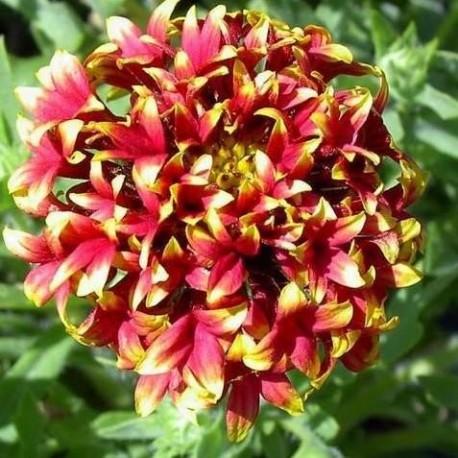 Gaillardia pulchella sundance bicolor (Gaillarde)