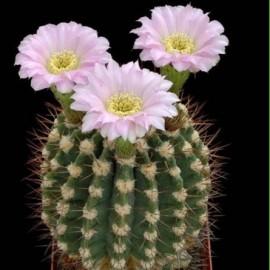 Acanthocalycium peitscherianum (Cactus)