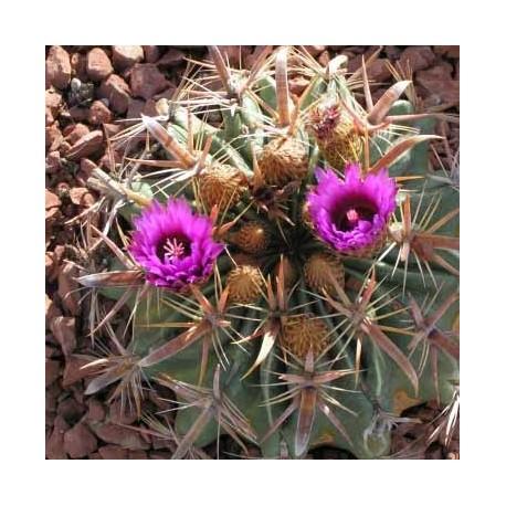 Ferocactus latispinus (Cactus)