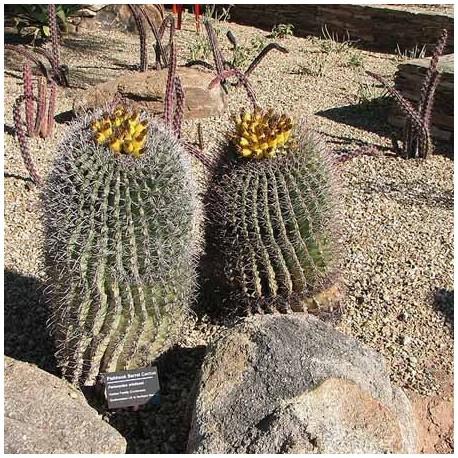 Ferocactus wislizenii (Cactus)
