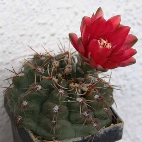 Gymnocalycium baldianum (Cactus)