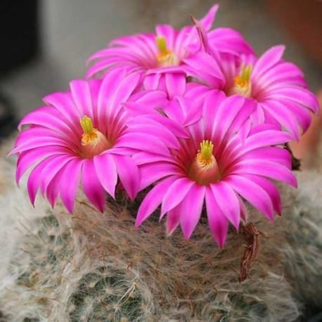 Mammillaria guelzowiana (Cactus)