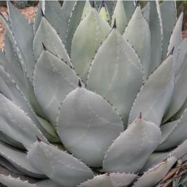 Agave parryi (Succulente)