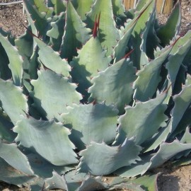 Agave potatorum v. verschaffeltii