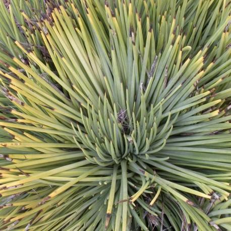 Agave striata (Succulente)