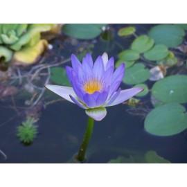 Nymphea caerulea (Lotus bleu)