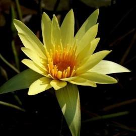 Nymphea eldorado jaune (Lys d'eau)
