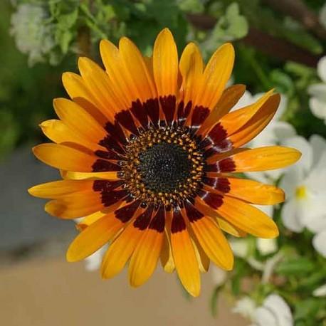 Venidium fastuosum (Orange princess daisy)