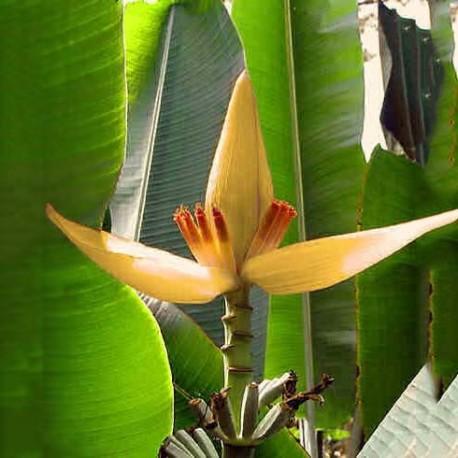Musa ornata orange