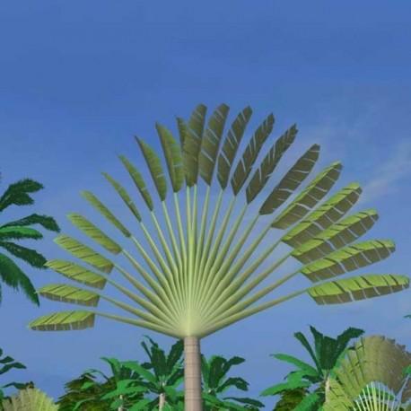 Ravenala Madagascariensis (Palmier du voyageur de Madagascar)