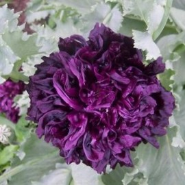 Papaver somniferum var. paeoniflorum noir (Pavot à opium)