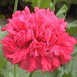 Papaver somniferum var. paeoniflorum 'Bombast Red' (Pavot à opium)