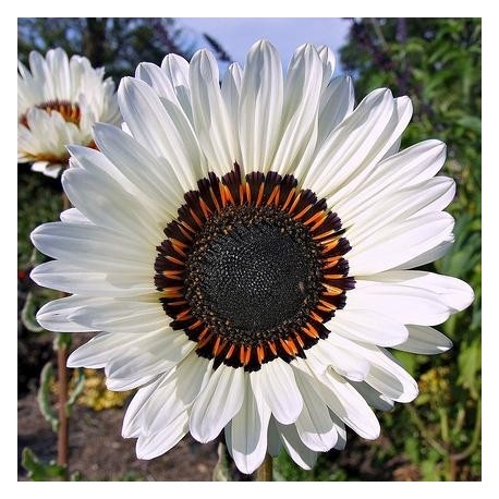 Venidium fastuosum Blanche (Marguerite africaine)