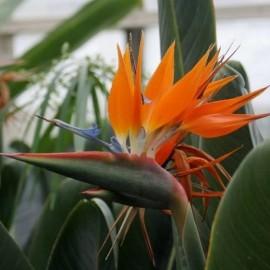 Oiseau de Paradis orange
