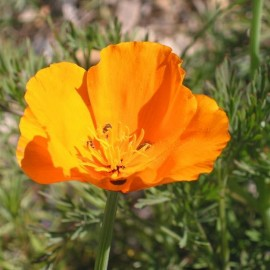 Pavot de Californie orange (Eschscholzia california)