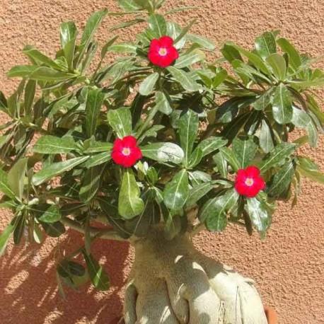 Adenium Obesum 'Arrogant' (Rose du désert)