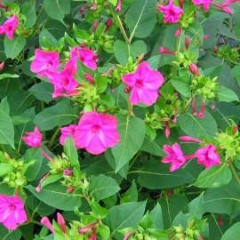 Belle de nuit à fleur rose