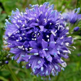 Gilia bleue