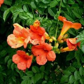 Campsis radicans (Bignone)