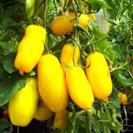 Graines Tomate ancienne jaune 'Banana Legs'