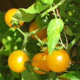Graines Tomate cerise 'Golden Nugget' seed